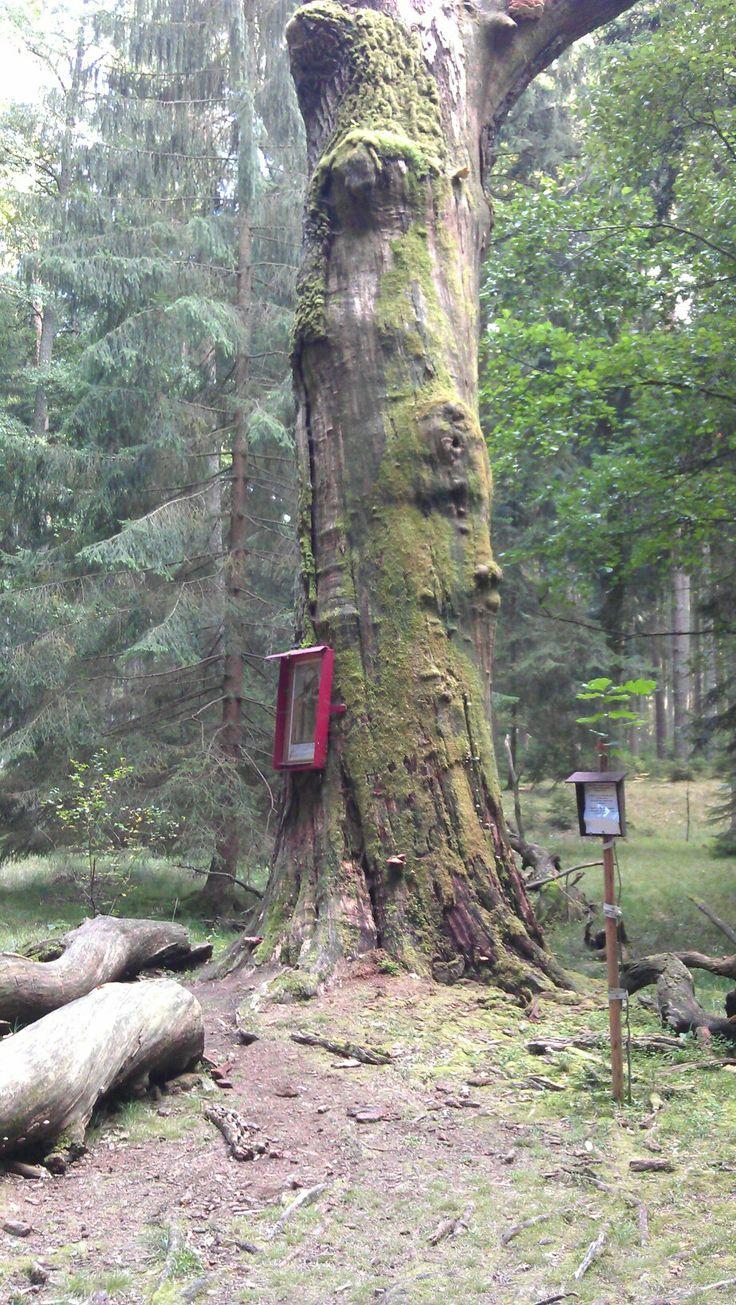 Žižkův dub,  zde se scházel Jan Žižka z Trocnova se svými přáteli.