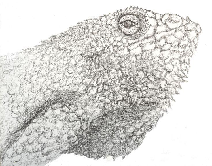 Iguana guana