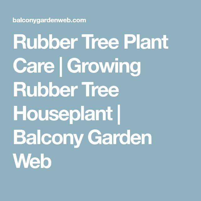 Rubber Tree Plant Care | Growing Rubber Tree Houseplant | Balcony Garden Web