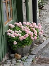 Pale Pinks. Love geraniums.