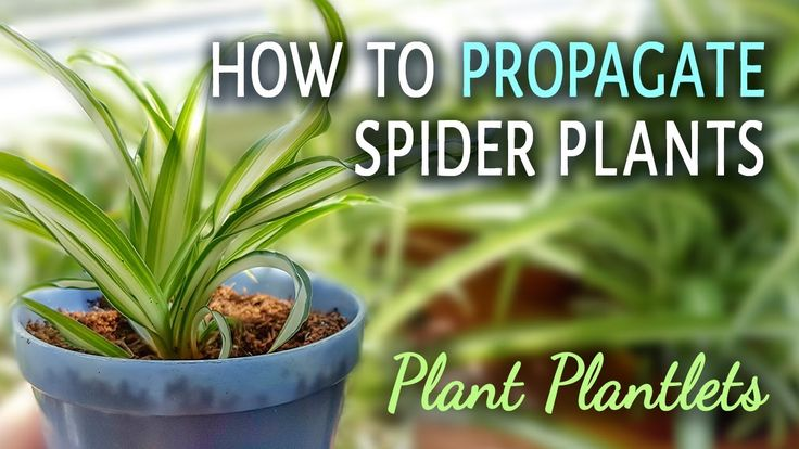How To Propagate Spider Plants With Plantlets  Propagating spider plants is very easy. You only need some plantlets (spider plant babies, spiderettes) and soil.  Choose plantlets that are bigger and have some nodes on their bottom. That is where the roots will grow from. The more nodes it has the easier it will root.  Place the spider plant babies into soil, gently push their center into the soil. You can start watering them right away.  The spiderettes will root in a month.