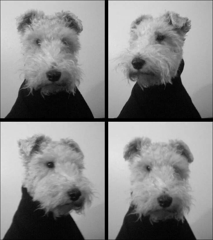 1000+ images about Wire Fox Terrier on Pinterest ...