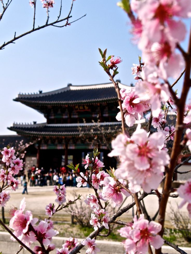 One of the reason why I want to go to Korea =>Cherry blossoms in Seoul, Korea