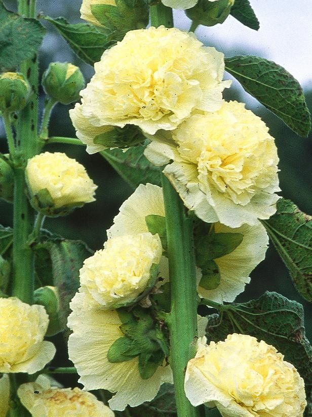 Hollyhock (Alcea rosea), Chater's Double Group    Mature size: 8 feet tall and 2 feet wide. Ideal growing conditions: full sun, well-drained soil