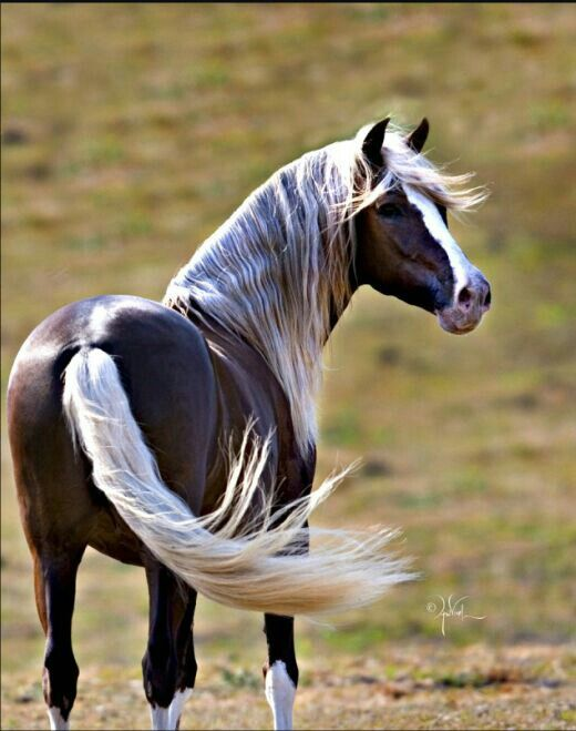 Beautiful Wild Liver-Chestnut Mustang; Blaze is Outstanding!