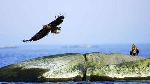 Havsörnar i Stockholms Skärgård  white-tailed eagle (Haliaeetus albicilla)  Stockholm archipelago