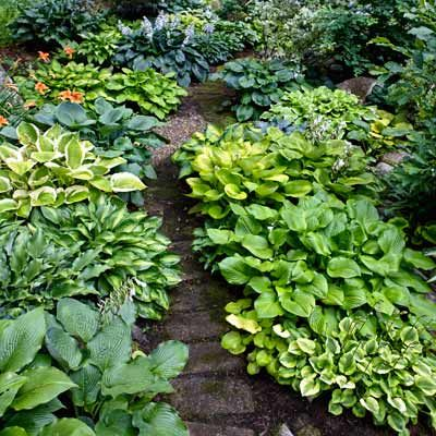 Line a woodland path with mixed hosta create two flowing ribbons of color and texture, with hues from chartreuse to green to blue and foliage that ranges from wide to flat to narrowed and ruffled.