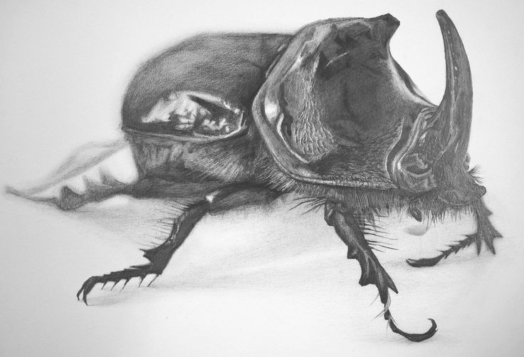 My pencil drawing of a rhino beetle