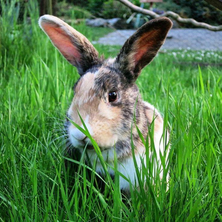Food everywhere...must be heaven!  Sorry for not posting for a while mum was on holiday.   #bunnyfun#bunnylove#bunnylive#bunny#bunnies#rabbit#rabbits#bunniesofonstagram#rabbitsofinstagram#animals#pet#pets#petsofinstagram#petrabbit#germanbunny#kaninchen#zwergkaninchen#holländer#widder#widderkaninchen#hollandlop#dutchrabbit#tricolor#siam#cutepet#cutebunny#bunniesworldwide#fabbunnies by die.huepfer