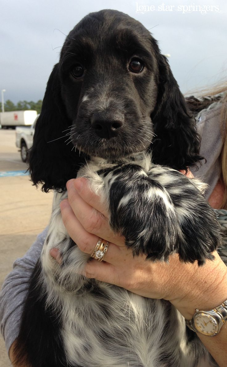 Our newest addition, coming all the way from Prague, Czech Republic. European English Springer Spaniel Puppy. Follow us at Lone Star Springers. www.facebook.com/lonestarspringers/