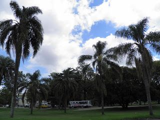 Palmeras Pindó situadas frente a la terminal de ómnibus.