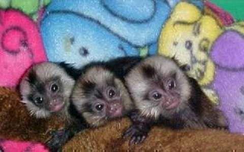 Seems, south american midget monkeys