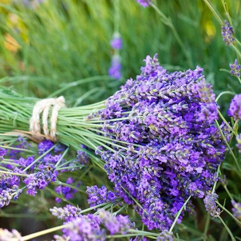Heavenly scent of lavender, calming, soothing and relaxing