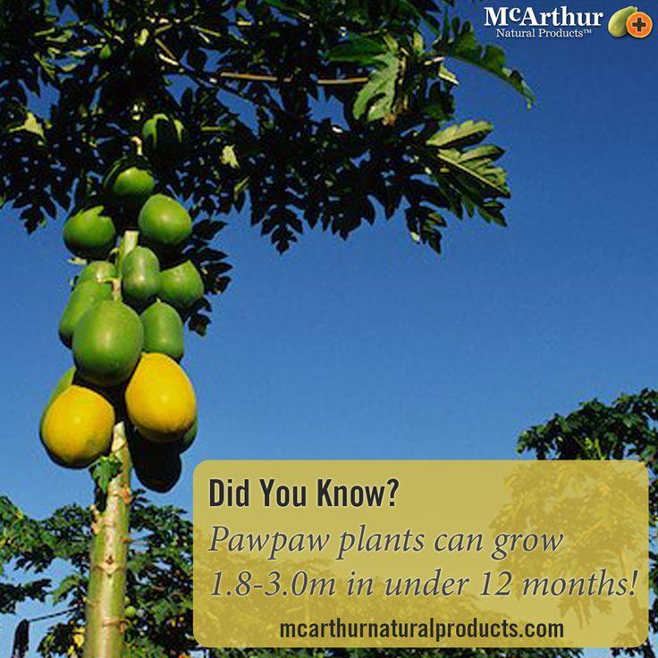 Did You Know?   Pawpaw plants can grow 1.8-3.0m in under 12 months!   #mnp #mcarthurnaturalproducts #pawpaw #papaw #papaya #papain #australiangrown