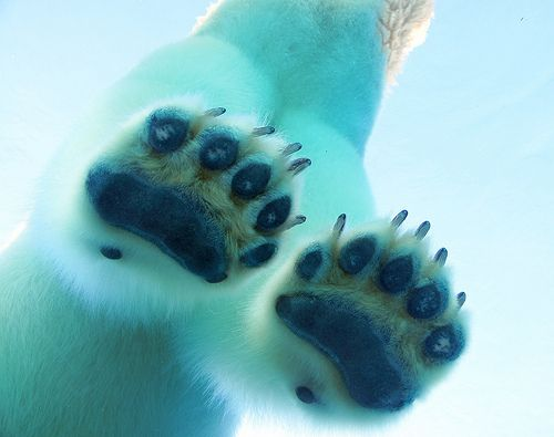 """funkysafari:  A polar bear's paws are marvelously adapted to life in the Arctic. A polar bears giant paws can be 12"""" across and act as snowshoes to spread the polar bear's weight out so they can walk on thin ice.The bottom of a bear's paw is has lots of little bumps on it, like the surface of a basketball, which helps the bear get a good grip on the ice and keep them from slipping.Thickly callused pads both protect from the cold and prevent the bears from cutting themselves on sharp ice…"""