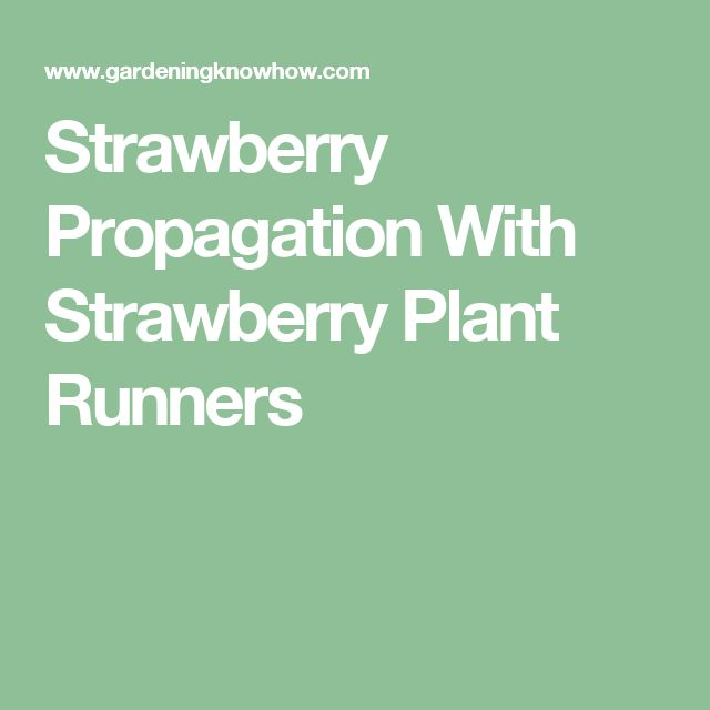Strawberry Propagation With Strawberry Plant Runners