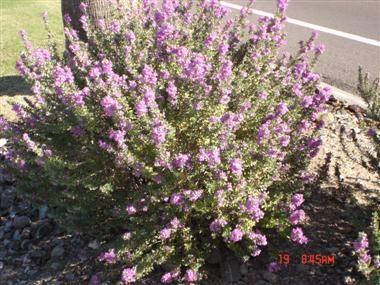 Green Cloud Sage (Leucophyllum)