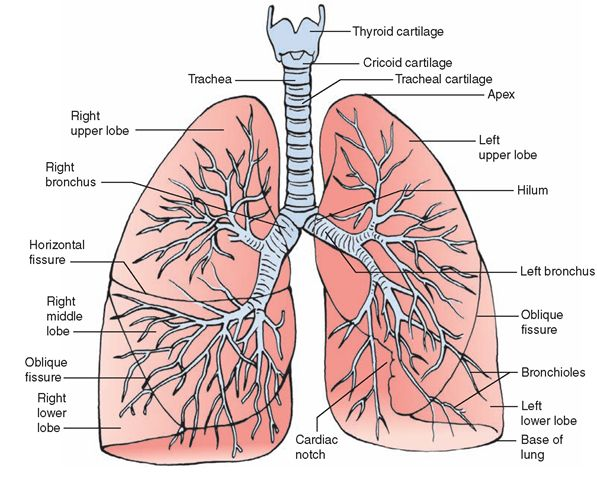 99 best respiratory images on pinterest | nursing schools, Human Body