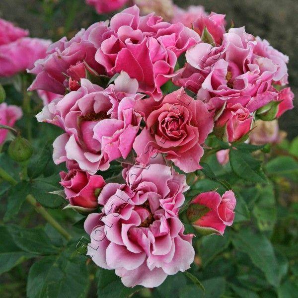 Санта Моника 60 см, устойчивая в цветении, не ароматная.