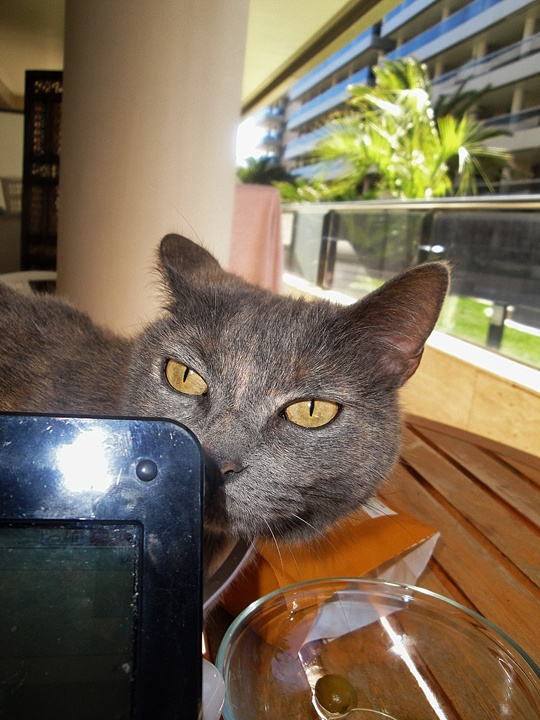 Meet Romea, the cat from Talamanca, Ibiza - http://travelling-cats.blogspot.be/2013/02/cat-from-talamanca-ibiza.html