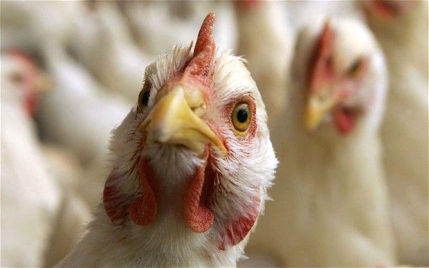 Bird flu- symptoms and protection