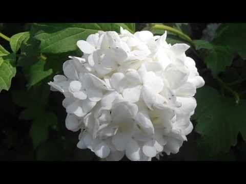 LA BOLA DE NIEVE: Viburnum opulus | Cuidar de tus plantas es facilisimo.com