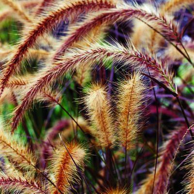 ~purple fountain grass~