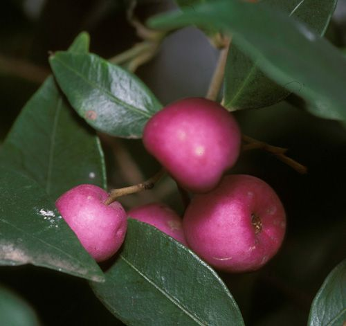 Lilly Pilly fruits