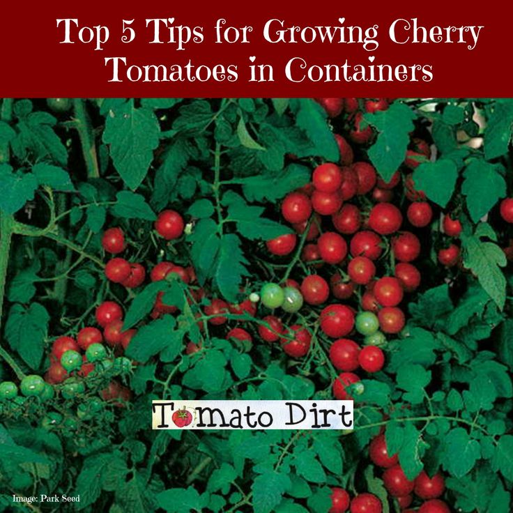5 tips for growing cherry tomatoes in containers: http://www.tomatodirt.com/growing-cherry-tomatoes-in-containers.html