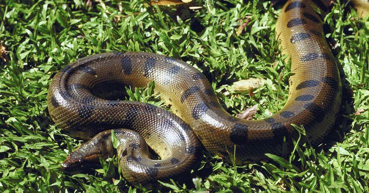 Odores que as cobras odeiam. Quando as cobras começam a aparecer em quintais, e mesmo nas casas, as pessoas procuram repelentes para evitar que esses répteis cheguem perto de suas propriedades. Usar odores que são desagradáveis às cobras é um método comum de tentar fazer com que elas recuem. Apesar de alguns cheiros certamente fazerem com que elas se sintam desconfortáveis, ...