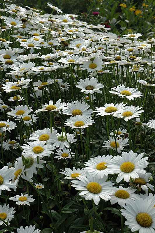 Becky Shasta Daisy (Leucanthemum x superbum) early to late summer bloom, 24in tall, perennial, best in groups, full sun to partial shade, fast growth rate, dies in standing water