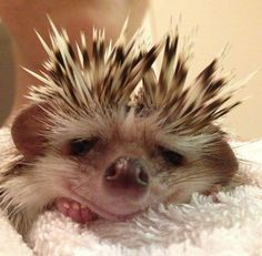 """A Hedgehog: """"Having a bad prickles day!""""    ( #cute #pets #spiffypets )"""
