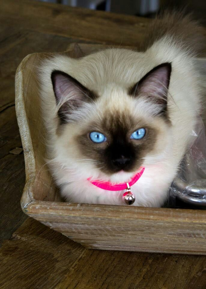 Ragdoll kitten! I love the ragdoll cats bright blue eyes!!! They're beautiful!!!