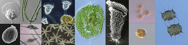 Culture Collection of Algae and Protozoa - It's a microbial world - ALGAE ASIA NEWS