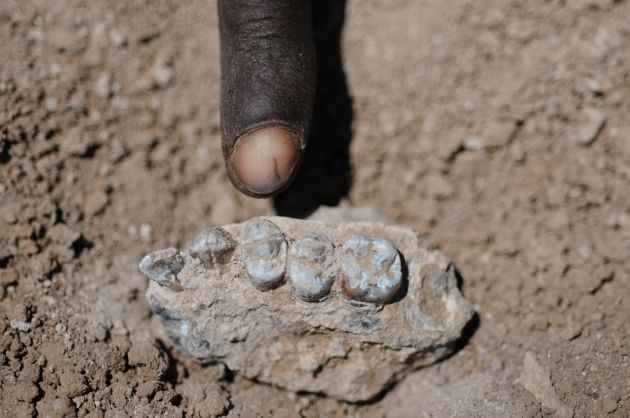 New species of early human discovered near fossil of 'Lucy' : Nature News & Comment