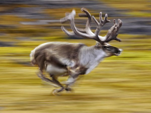 Reindeer at Spitsbergen, Norway. From National Geographic Traveler