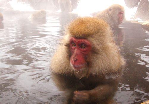 Shiga Kogen Activities | Japanese Snow Monkeys