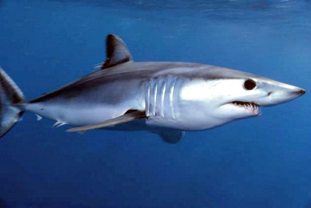 Shortfin mako shark, Isurus oxyrinchus, off Catalina Island, California. 10 Mako Shark Facts For Kids! - Cool and Interesting Facts for Kids
