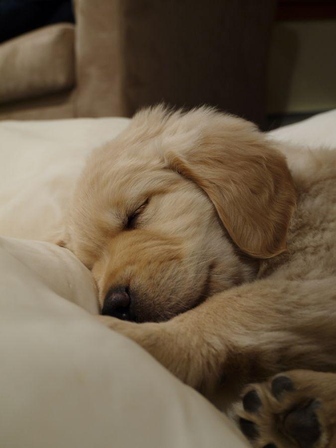 Sleeping Golden Retriever Puppy Schattige Dieren Honden Leuke