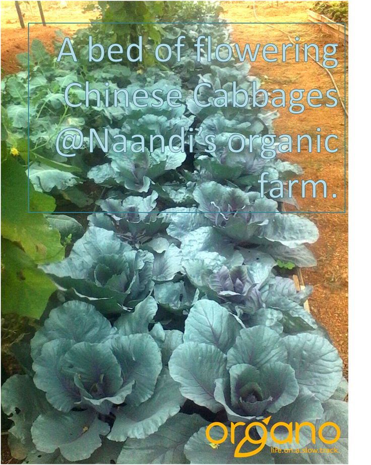 Chinese Cabbage growing within Naandi's Exotic Nursery