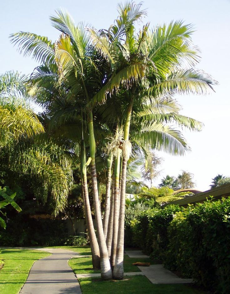 Bangalow palm (aka King palm, Illawara palm, piccabben, piccabeen) - native to Australia
