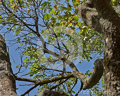 Apple tree view from below, blue sky, foliage, trunk