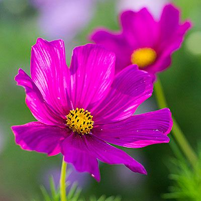 Cosmos (<i>Cosmos bipinnatus</i>) - Best Bouquet Flowers to Grow - Sunset 12 best flowers to grow for cutting We tested the best easy-care varieties of flowers for cutting and using in stunning bouquets. Here are our favorites, chosen for their long bloom times, tall stems, and ample vase life