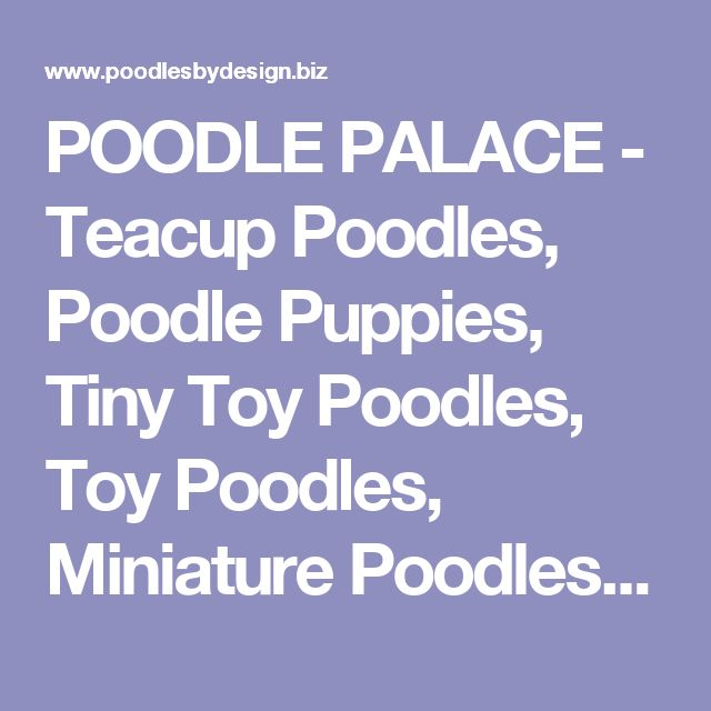 POODLE PALACE - Teacup Poodles, Poodle Puppies, Tiny Toy Poodles, Toy Poodles, Miniature Poodles for sale, Toy Poodle Breeder - Poodles by Design -  Poodle breeder with information and photos of teacup poodles, tiny toy poodles and miniature poodles  -  Maryland poodles, Shipping, delivery, dogs for sale, puppies for sale, dog breeder, puppy breeder,  DotComPoodles, Toy Poodles, tea cup poodles, Just Poodle Puppies, Toy Poodle, Tiny Toy Poodles, Teacup Poodles for sale, Toy Poodle breeder…