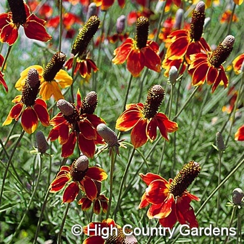 17 best images about plants i can grow in the dry on for Best flowers to grow in california