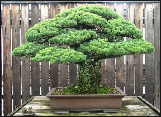 bonsai beringin terbaik 2016