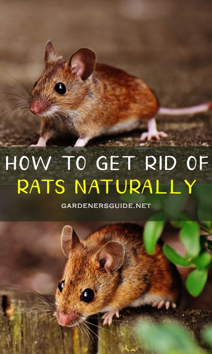 How To Get Rid Of Rats And Mice In Your Garden in 2020 ...
