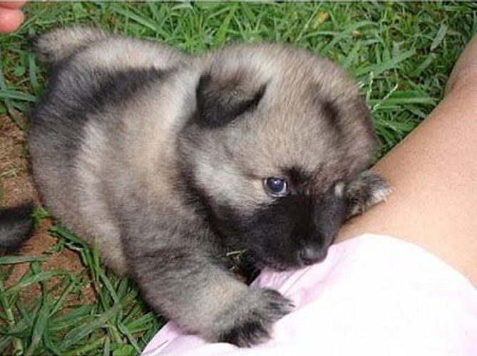 10 best images about Keeshond Dogs on Pinterest | Doggies ...