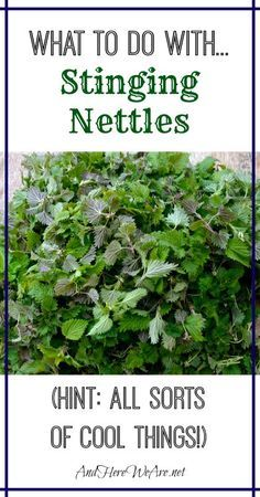 What to do with... Stinging Nettles-maybe I should try some of these ideas. I know people make green borsch from them...