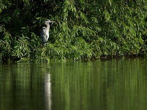 Reflective Grey Heron at Watermead by  Mattcawrey on August 26, 2013